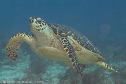 BD-101213-Playa-del-Carmen-3082-Eretmochelys-imbricata-(Linnaeus.-1766)-[Hawksbill-turtle.-Karettsköldpadda].jpg